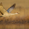 Adult Sandhill Crane in flight in early morning light over roosting pond