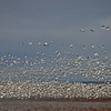 A massive flock of Snow geese blasts off from the corn fields at the refuge