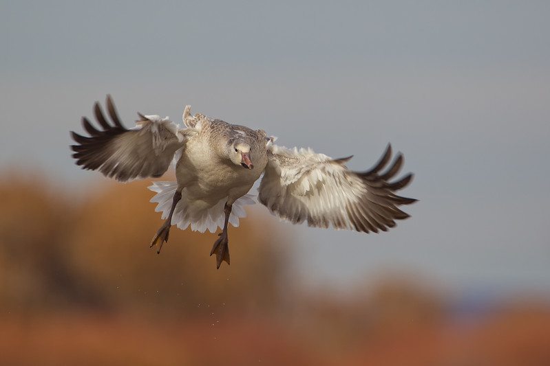 Juvenile Snow Goose on final approach