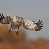 Juvenile Snow Goose on final approach