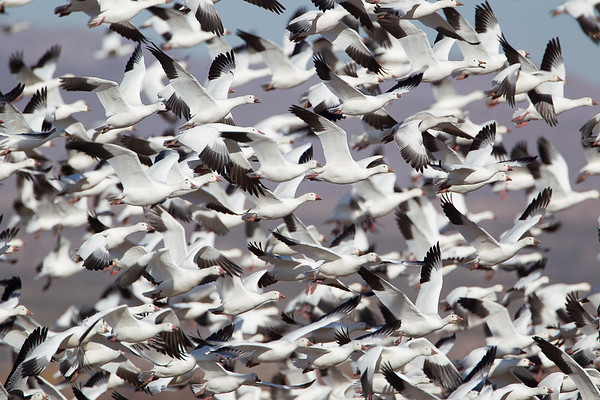 "Telephoto shot of a Snow Goose ""blast off"""