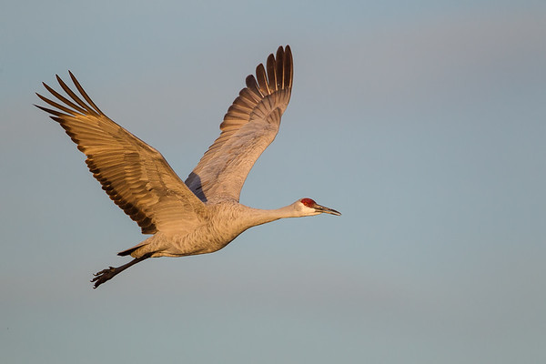Sandhill Crane angles past in upstroke through early light blue sky