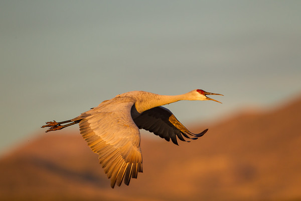 Adult Sandhill Crane heads for corn fields while squawking