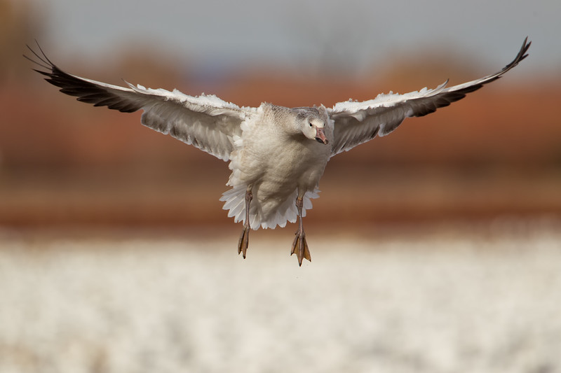 Juvenile white morph Snow Goose coming in for landing among thousands of others...