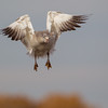 Juvenile white morph Snow Goose in mid-flap upstroke on approach