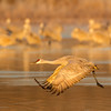 Adult Sandhill Crane in golden early morning light shortly after takeoff from roosting pool