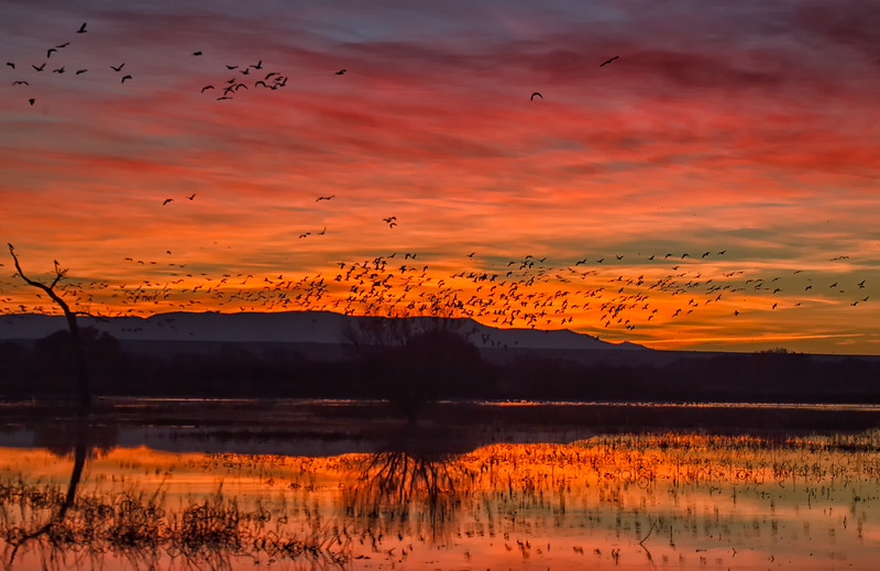 Snow Geese take to the air on a red sky morning over the main pool