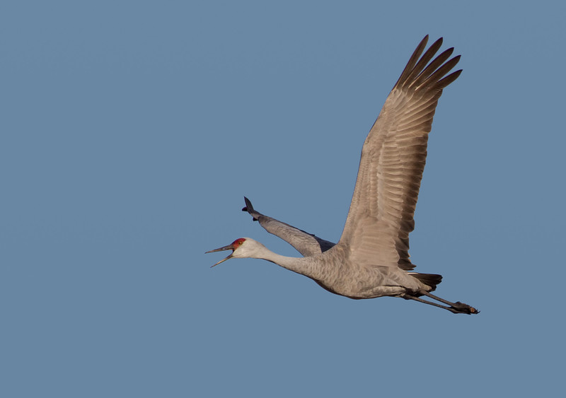 Squawking adult Sandhill Crane flying overhead in clear New Mexico sky