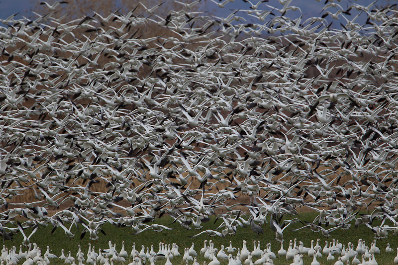 A flock of Snow geese 'blasting off' while others look on from below