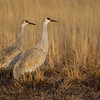 Adult and juvenile Sandhill Cranes are bathed in early morning light as they stand on the edge of the roosting pool