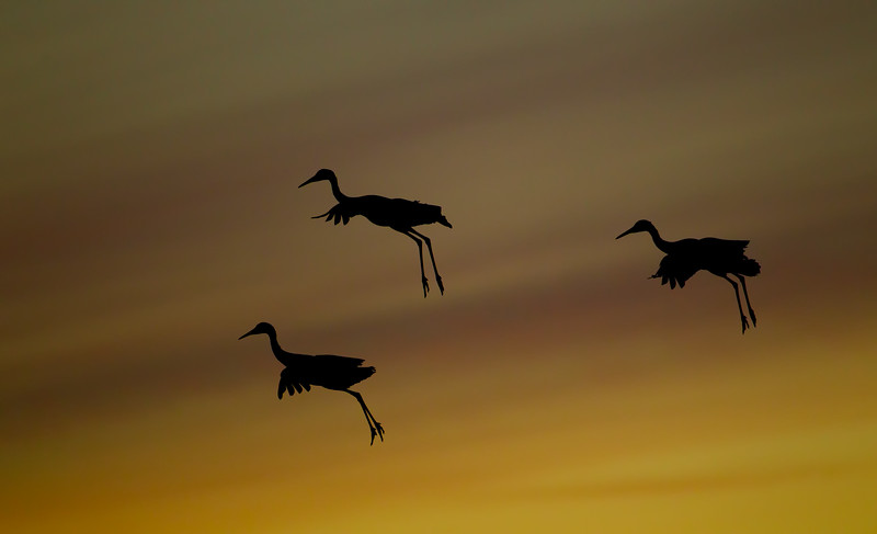 Three Sandhill Cranes parachute through the colourful sunset sky to their overnight roosting ponds