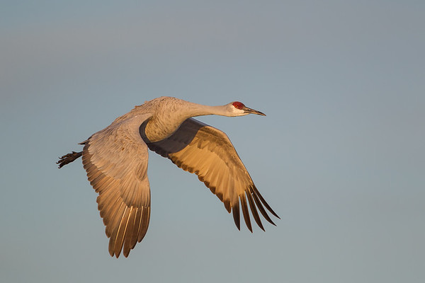 Sandhill Crane angles past in downstroke through early light blue sky