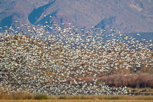 "Part of a Snow Goose ""blast off"" against a backdrop of winter vegetation and mountainside"