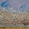 """Part of a Snow Goose """"blast off"""" against a backdrop of winter vegetation and mountainside"""