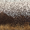 A dense flock of Brewer's, Red-winged, and Yellow-headed Blackbirds