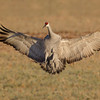 Adult Sandhill Crane with full brakes applied just prior to touching down