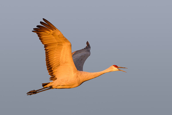 Squawking Sandhill Crane against blue New Mexico sky in early dawn light