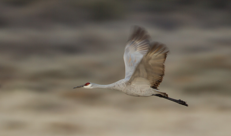Adult Sandhill Crane on early morning flight from roost to find some breakfast
