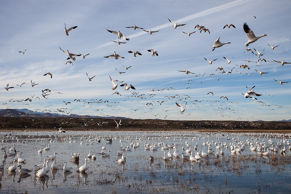 Snow geese leave the roosting pools in waves in the morning