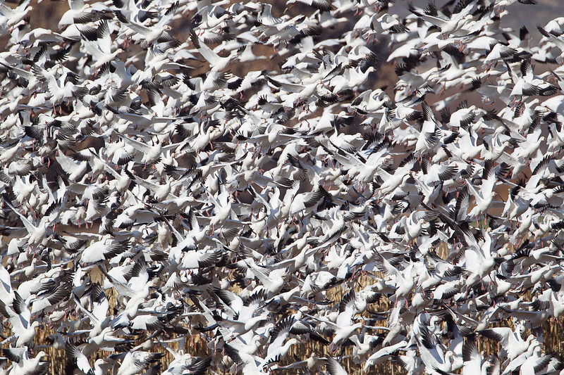 "Mass of goose flesh during Snow Goose ""blast off"""