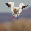 Adult white morph Snow Goose coming in for landing...