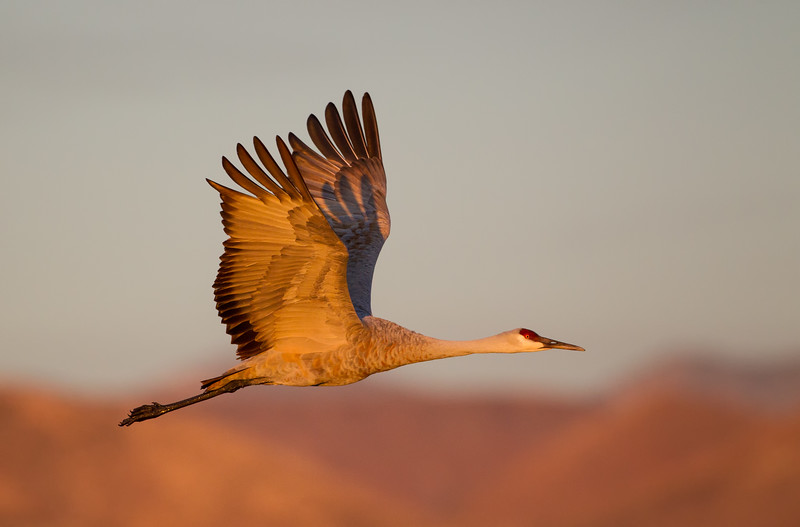 Sandhill Crane flies past in front of mountains in early dawn light