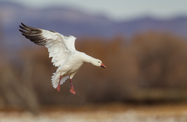 Adult white morph Snow Goose flaps with long fast strokes to slow down enough to land