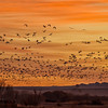 Snow Geese fill the orange morning sky as photographers look on...with cameras clicking