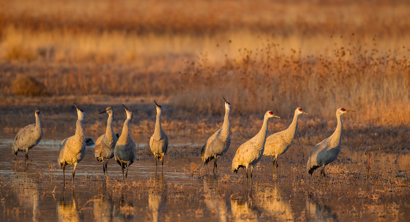 Sandhill Cranes scanning the skies while others line up for take off