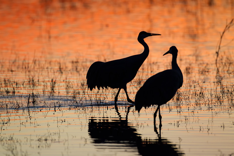 A pair of Sandhill Cranes is silhouetted by the reflection of the red evening sky in the roosting pools