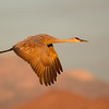 Sandhill Crane in flight past snow-dusted mountains