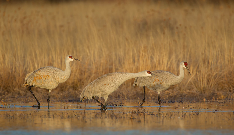 Two Sandhill Cranes look on as a third leans forward in anticipation of taking flight in the early morning light