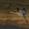 Sandhill Crane Gaining Altitude