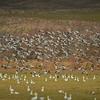 Snow Geese Flock Takeoff
