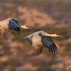 Sandhill Cranes after takeoff
