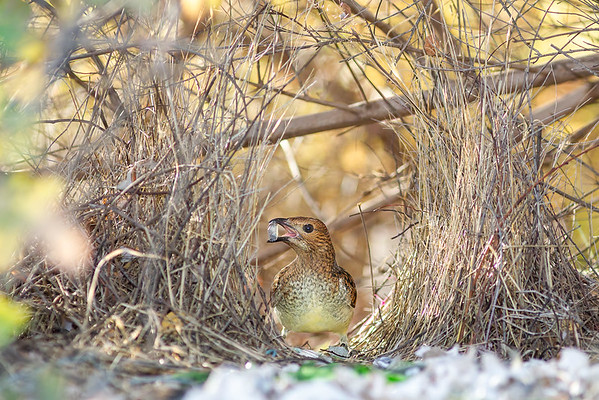 Spotted Bowerbird-David Stowe-_DS_5170-Edit