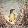 Western Bowerbird-David Stowe-DSP_2531