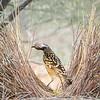 Western Bowerbird-David Stowe-DSP_2548