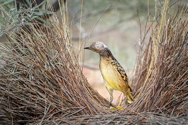Western Bowerbird-David Stowe-DSP_2536