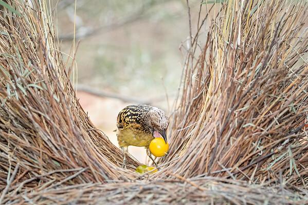 Western Bowerbird-David Stowe-DSP_2554