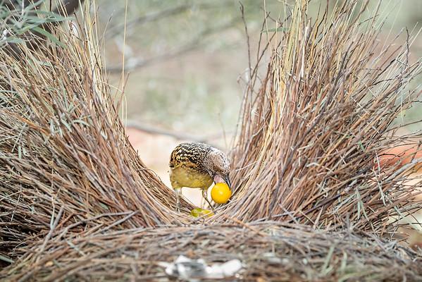 Western Bowerbird-David Stowe-DSP_2555