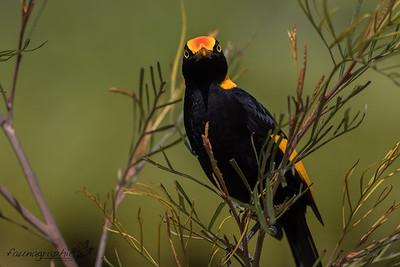 Regent Bowerbird - Male