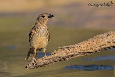 Spotted Bowerbird