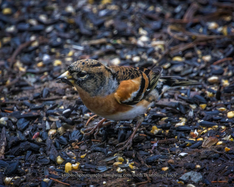 Brambling 0086-Recovered