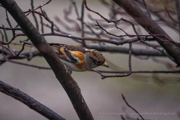 Brambling Finch