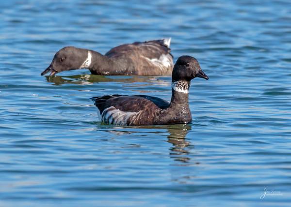 Brandts Goose