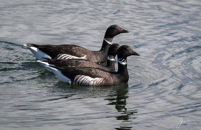 Brants Goose