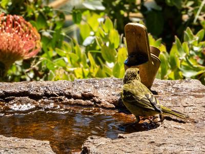 Brimstone Canary (Crithagra sulphurata) from Kirstenbosch Botanical Gardens, Cape Town