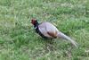 Pheasant - male