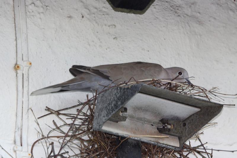 Collard Dove nesting